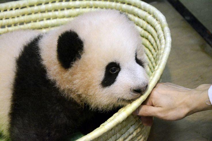 ジャイアントパンダの赤ちゃんの名前は「シャンシャン」(香香)に決定!|上野動物園のジャイアントパンダ情報サイト「UENO-PANDA.JP」