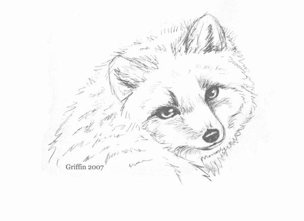 how to draw cute arctic fox drawing image gallery