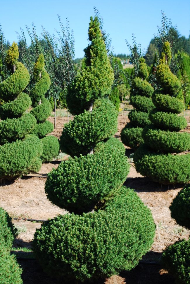 HappyModern.RU | Канадская ель (44 фото): северная красавица в садах умеренных широт | http://happymodern.ru