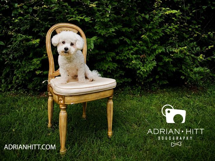 Bichon Frise Bichon frise, Dogs, Nashville