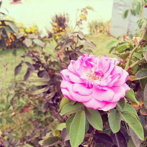 Rose #collegegarden