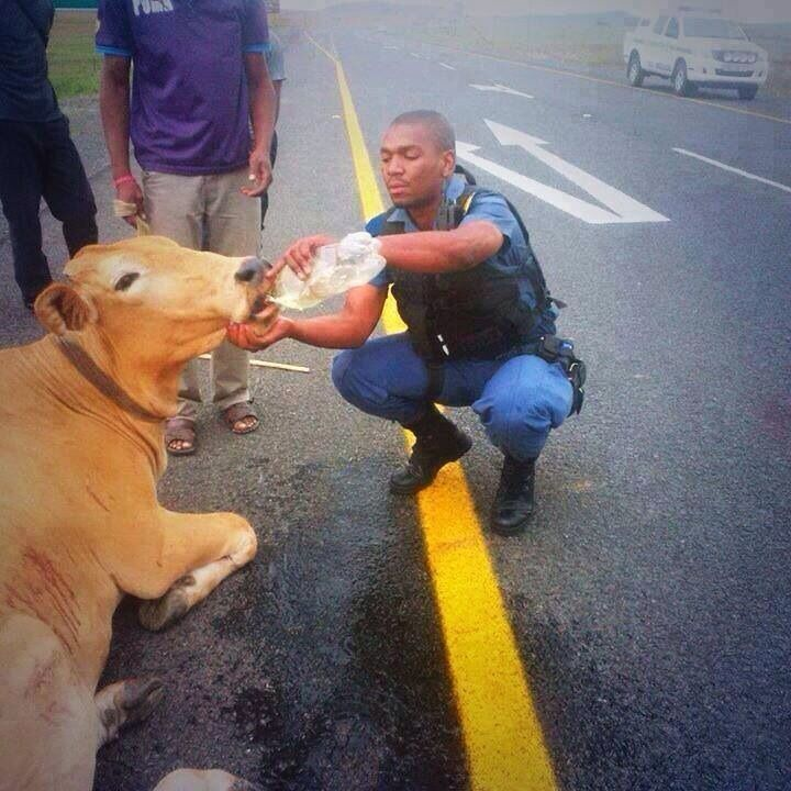 This Police man stopped to help this cow that just got run over