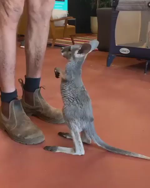 Baby roo learns how to jump into pouch 😍