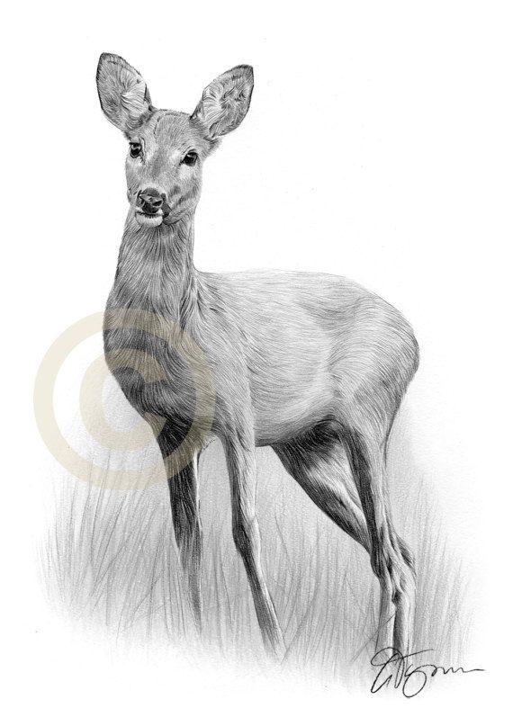 Roe Deer Pencil Drawing Print Wildlife Art Artwork Sign