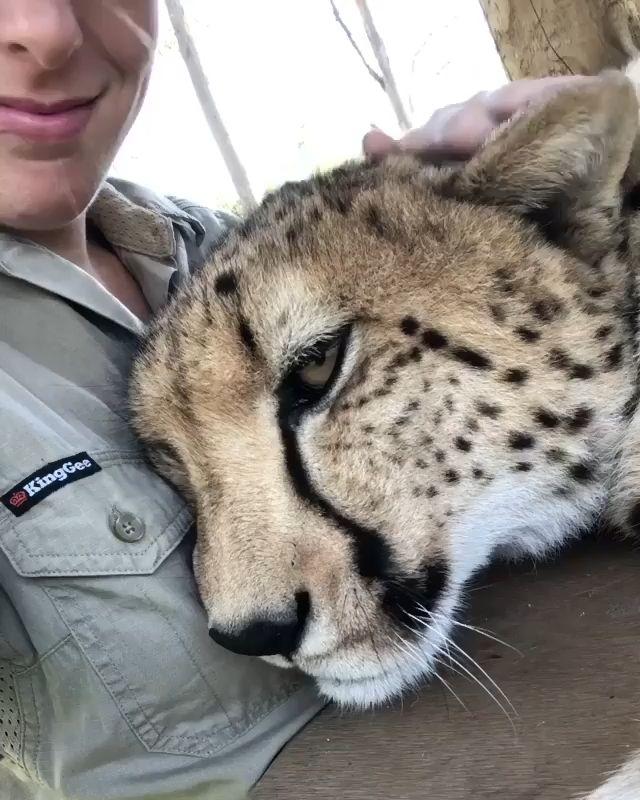 We need to save the Cheetahs!
