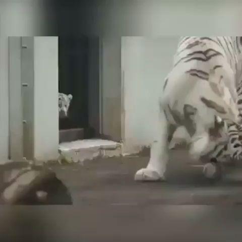 Lol! Scary Tiger!