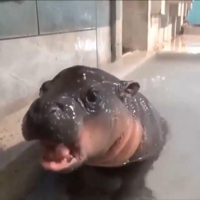 Baby Hippo 🦛