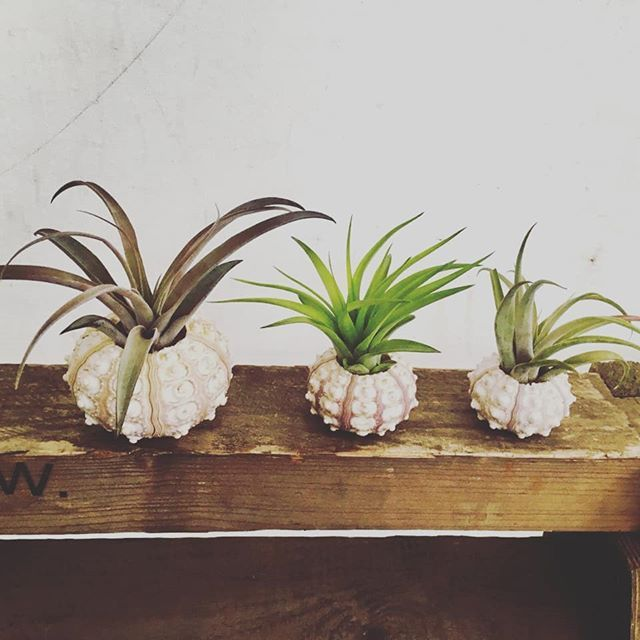 Luftpflanzen Berlin trio air plants & sea urchins get your favorite combo on