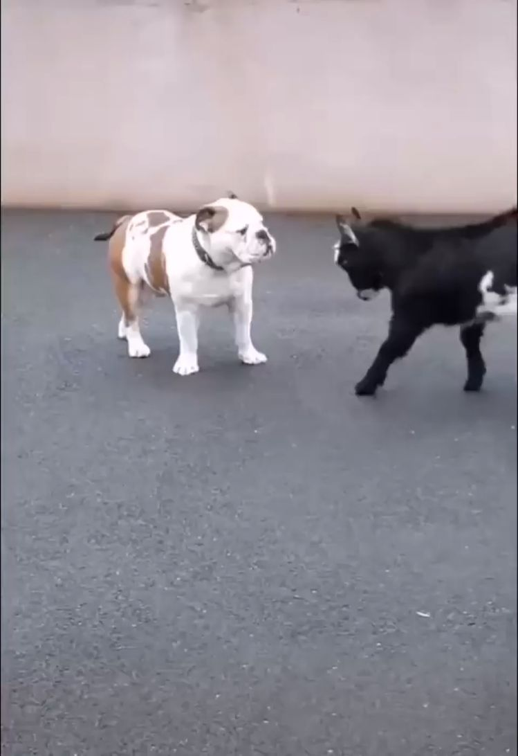 Baby goat use headbutt! It's not very effective..