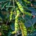 Gungo Peas
