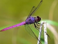 Delightful Dragonflies