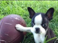 Animals & Pets: Boston Terriers, French Bulls