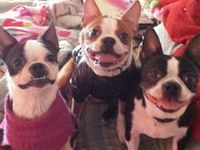 Boston Terriers are my love
