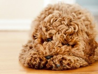 Labradoodles, Golden Doodles and other Poodle Crosses .... one day....soon I want to love one of these for myself <3