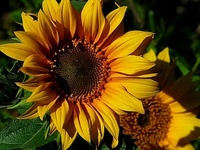 I love the sunflower. It reaches to the heavens. It's such a happy flower! Remember to pin responsibly.
