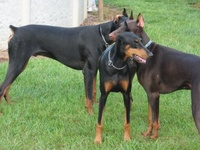 In my opinion Dobermans are gorgeous and the closest thing to perfection in the world!