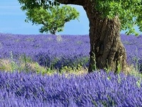 Lavenders, Wisterias and other Purple Beauties.