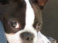 Boston Terriers ~