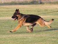 My family has for many years had German Shepherds and we love their intelligence loyalty and playfulness ❤️