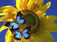 <> Blue and Yellow <>