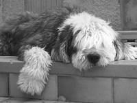 En mémoire d'Apollon,  notre bobtail, parti en 2006....RIP