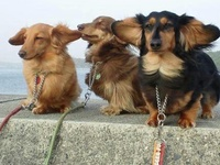 Doxies and other cute critters