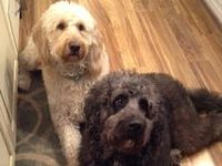 Oliver & Shadow My Beautiful Goldendoodles