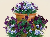 Container Gardens. Find ideas and tips to create beautiful container gardens, how to combine plants and flowers for an awesome display outdoors, hanging basket ideas, container water gardens, seed starting tips, houseplant info, indoor gardening tips, and grow edible vegetables and fruits anywhere in containers.