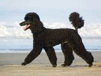 I am besotted with poodles. I own 3 minis, but would love to get a standard. I can't because I wouldn't be able to give it the exercise it needs, but I can and do love other people's.