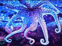 Oh the Octopi!