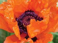 Poppies - Nature's Beauty