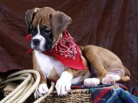 Boxers, In Memory Of Our Precious Rocky