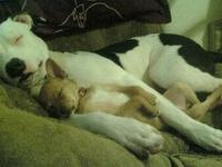 Pit Bulls and Chihuahuas