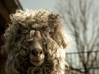 Alpaca, Sheep, Goats, Llamas