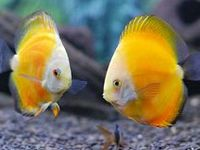 Largest collection of Aquarium information on the Net. The information on Aquarium fishes like Gold fish, Koi carp,  Bettas, Discus, Arowana, Oscar, Cichlids, Flower horn, Barbs, Angels, Guppies, Mollys, Swordtails and many more are included on Aqua Pets along with tons of Aquarium Fish keeping and Fish breeding tips.