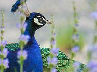 Peacock glorious  peacocks