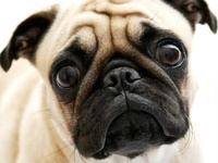"""MY Pugs """"Baby"""" and """"Gracie"""" and Cat """"Lucy-fur"""""""