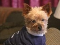 I have 2 yorkies (Zena and Annie) and love spoiling them. They love wearing rhinestone doggy tees.  Check out www.Doggalicious.com & www.ChristianCrystals.com
