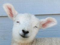 Sheep, goats, llamas, alpacas, etc.