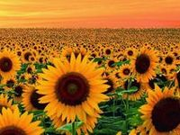Keep your face to the sunshine and you cannot see the shadow. It's what the sunflowers do! ~Helen Keller