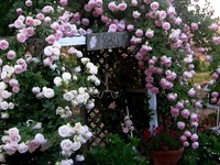 These are all climbing roses. Roses that are 'climbers', are really only roses with very long canes. What a wonderful way to add some vertical beauty to the garden!