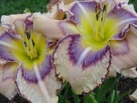 Hemerocallis - Taglilien - Daylilies