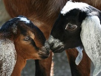 All Things GOAT...and Goat CHEESE!