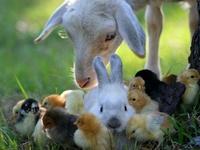 Chickens & Farm Animals