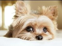 ~DOGS - Yorkshire Terrier~