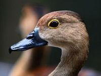 Pics of ducks and duck info.