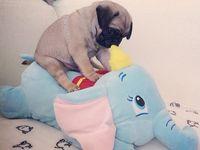 Pug Obsession