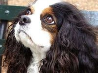 Dogs - Cavalier King Charles