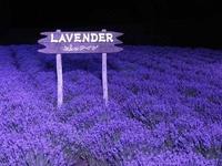 Lovely Lavender, Violet, & Purple
