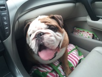 Despite their tough exterior appearance, English Bulldogs are the most loving and lovable dogs around.  Born to please and entertain, I hope the Bullies in these pins put a smile on your face!